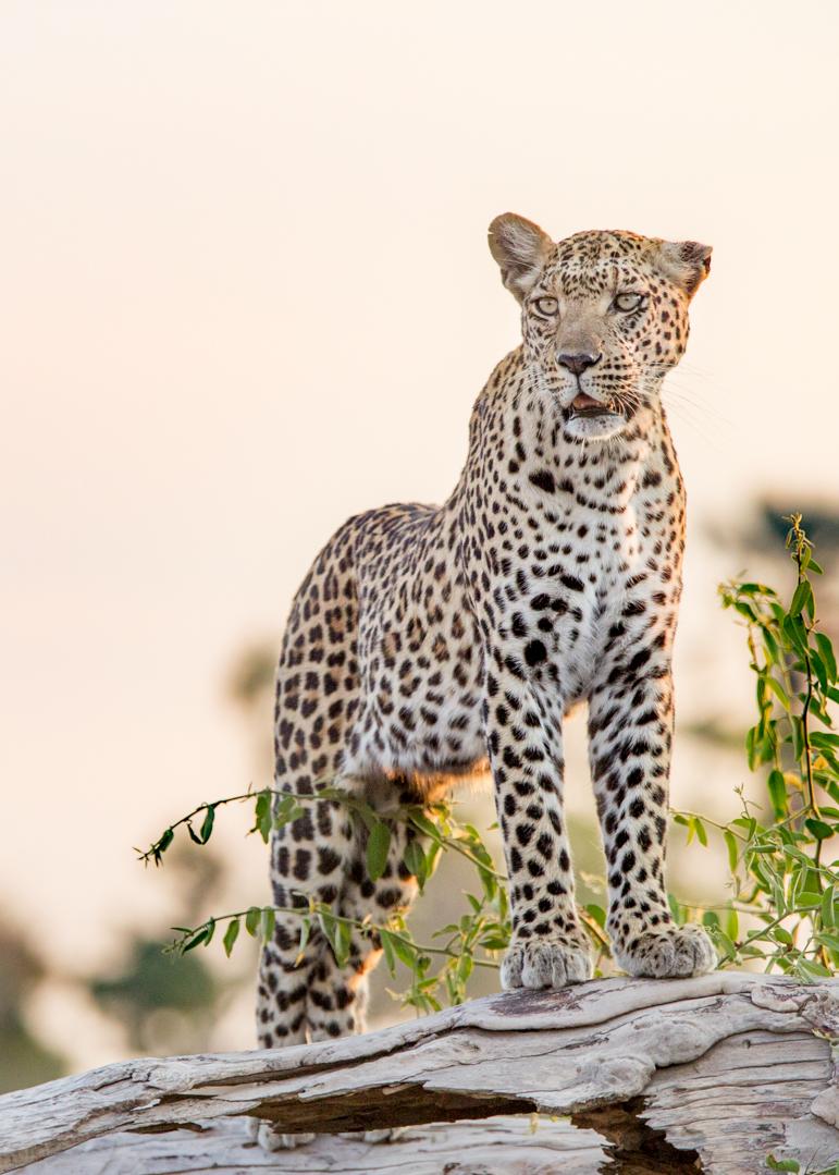 Leopard Surveys its surrounds on the Savannah at Mombo Camp Botswana