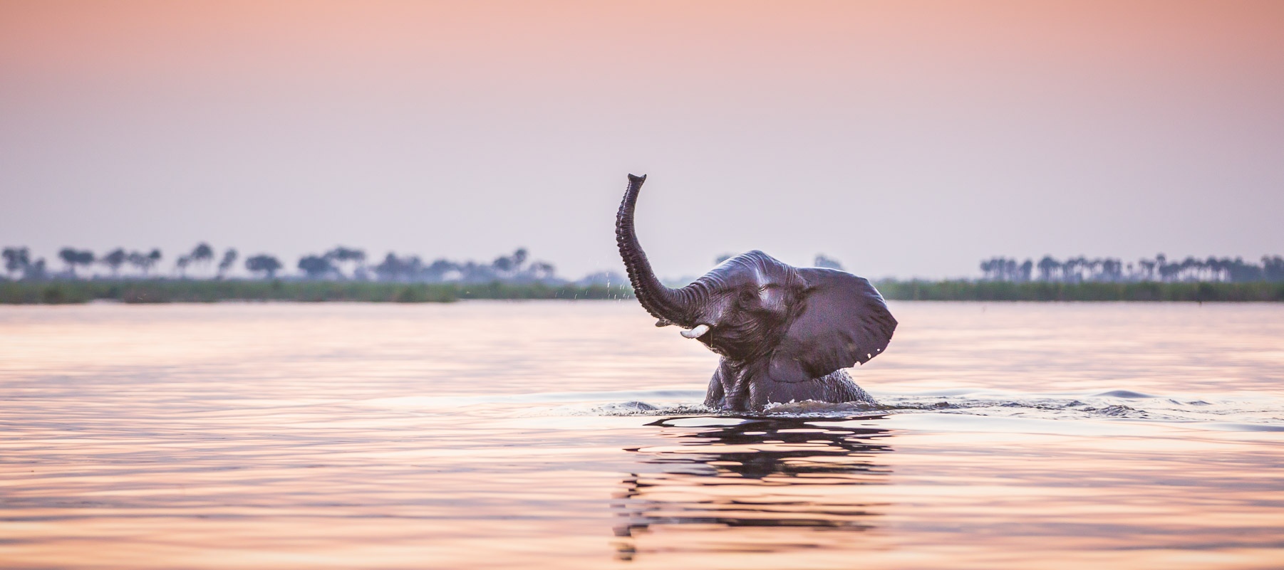 Elephant swimming at sunset
